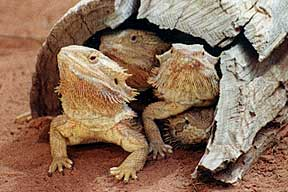 Alice Springs Reptile Centre - Accommodation Yamba