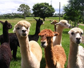 Banyandah Alpacas - Accommodation Yamba