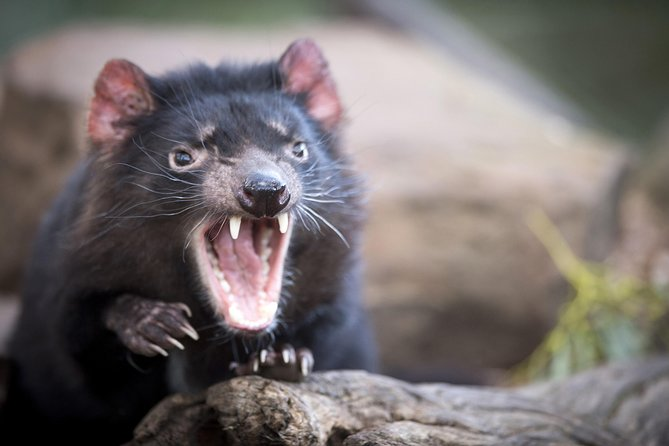 Port Arthur and Tassie Devils Active Day Tour from Hobart - Accommodation Yamba