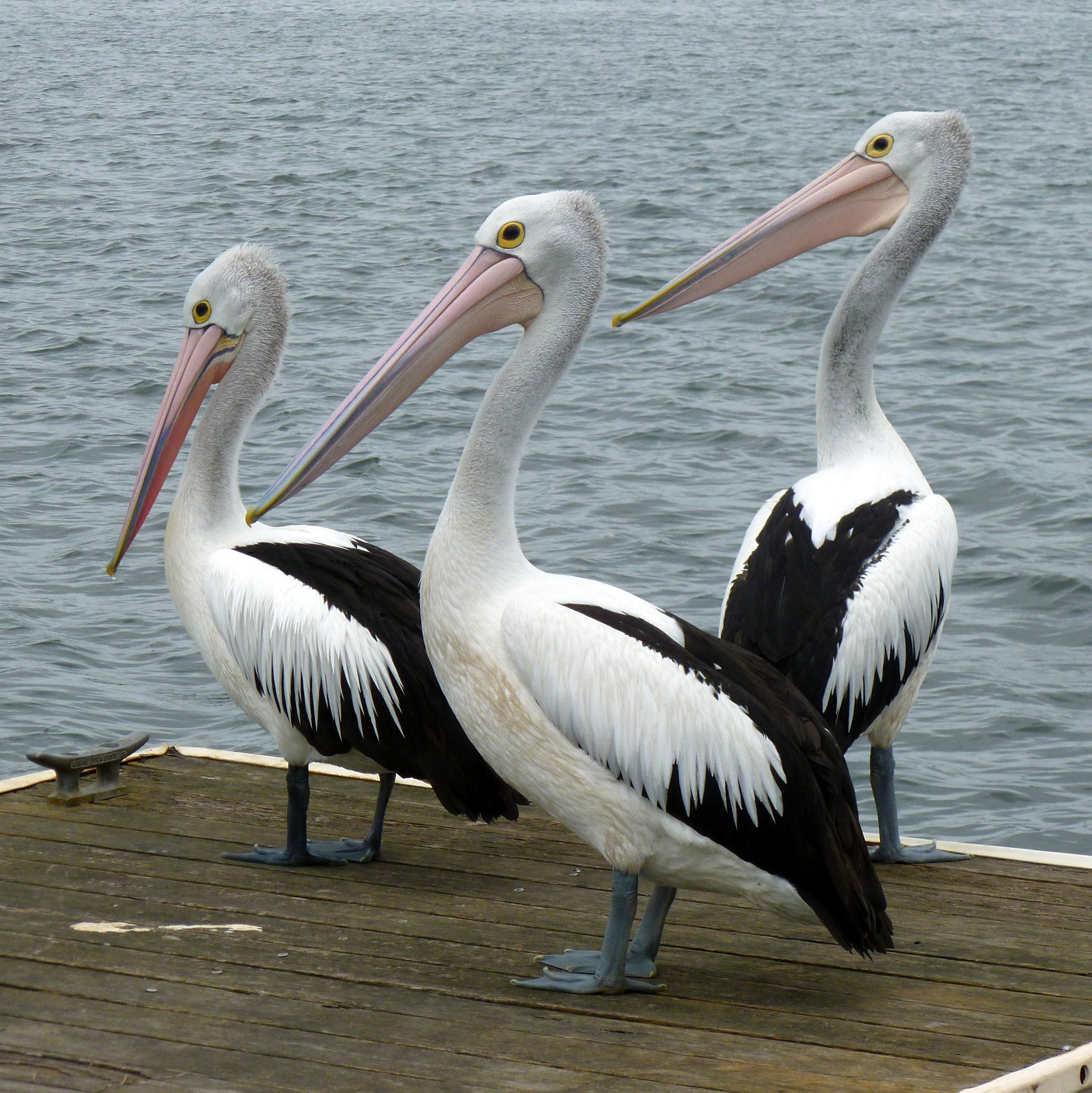 Pelican Feeding - Accommodation Yamba