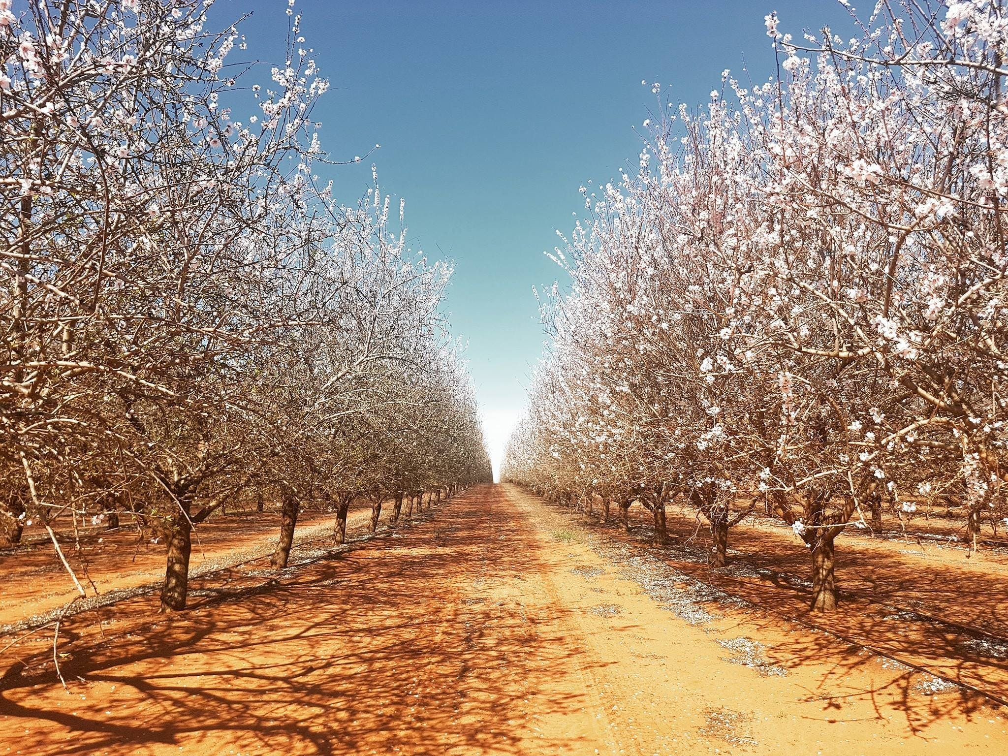 Mallee Almond Blossom Festival - Accommodation Yamba