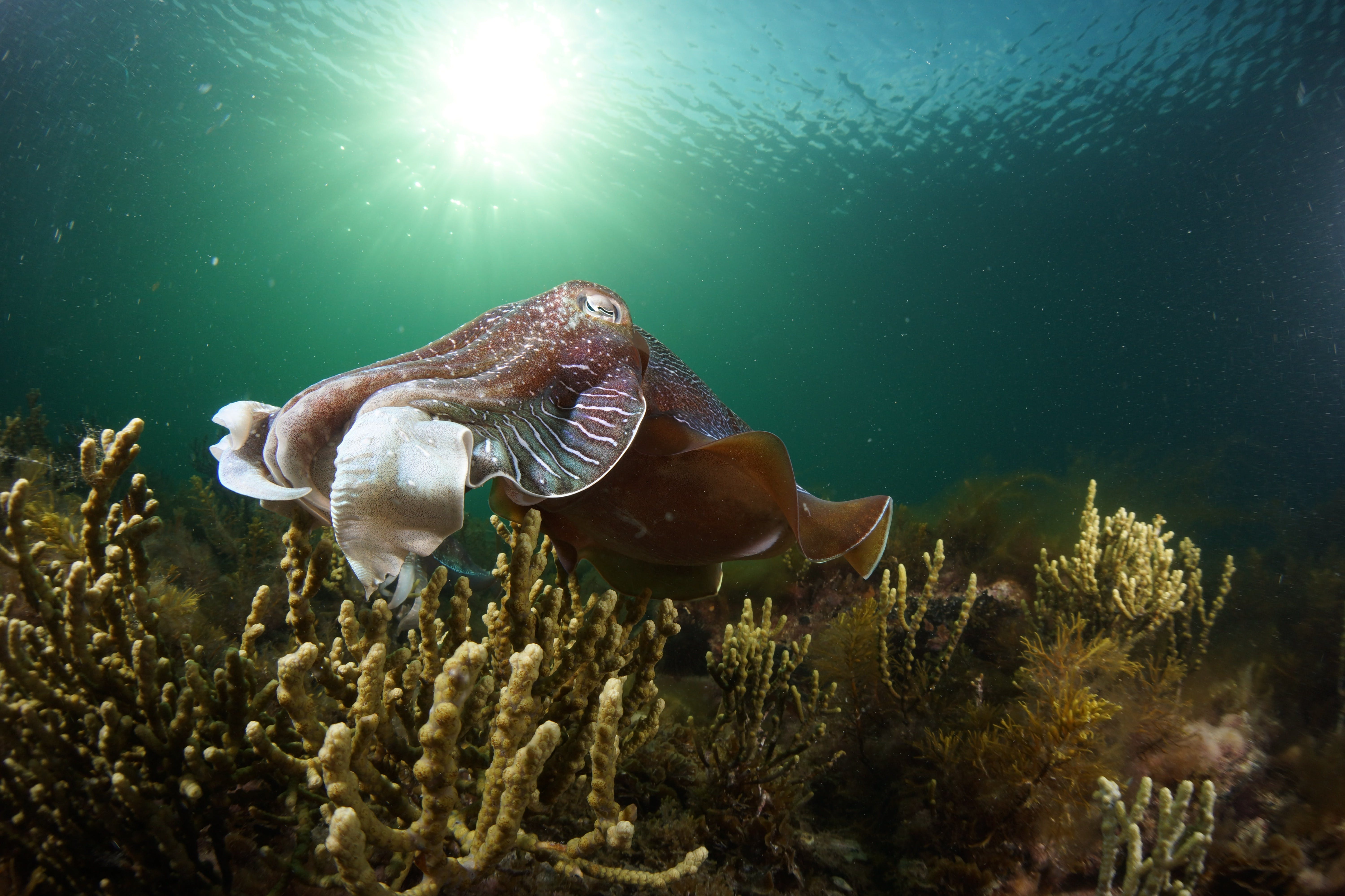 Cuttlefish Diving  Snorkeling EVERYDAY May -August - Accommodation Yamba